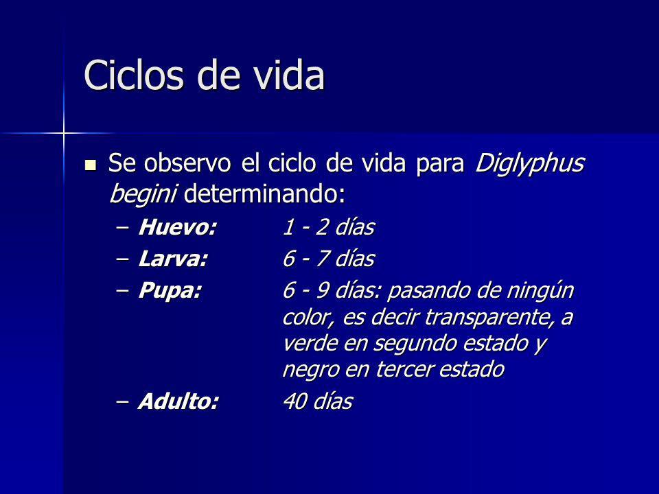 Ciclos de vida Se observo el ciclo de vida para Diglyphus begini determinando: Huevo: 1 - 2 días. Larva: 6 - 7 días.