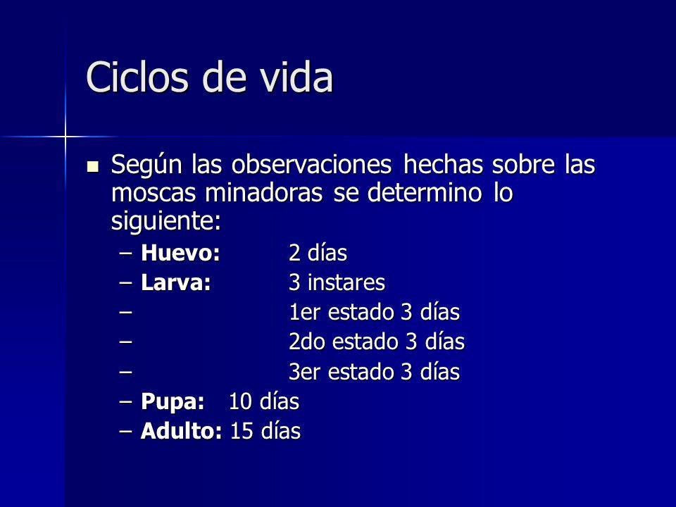 Ciclos de vida Según las observaciones hechas sobre las moscas minadoras se determino lo siguiente:
