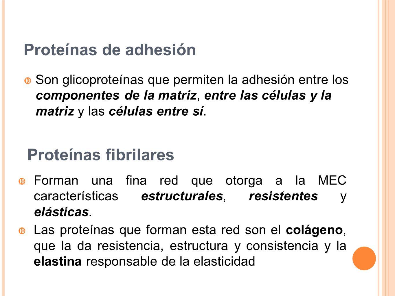 Proteínas de adhesión Proteínas fibrilares