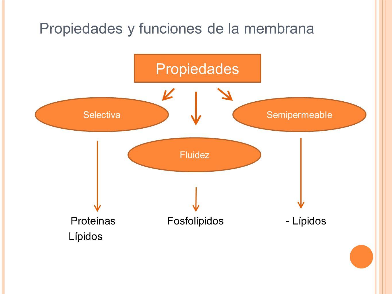 Propiedades y funciones de la membrana