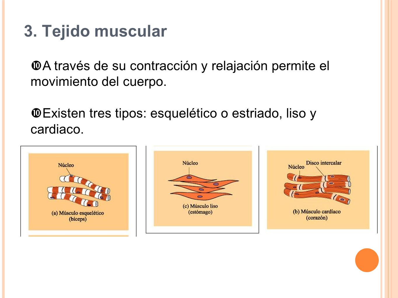 3. Tejido muscular A través de su contracción y relajación permite el movimiento del cuerpo.