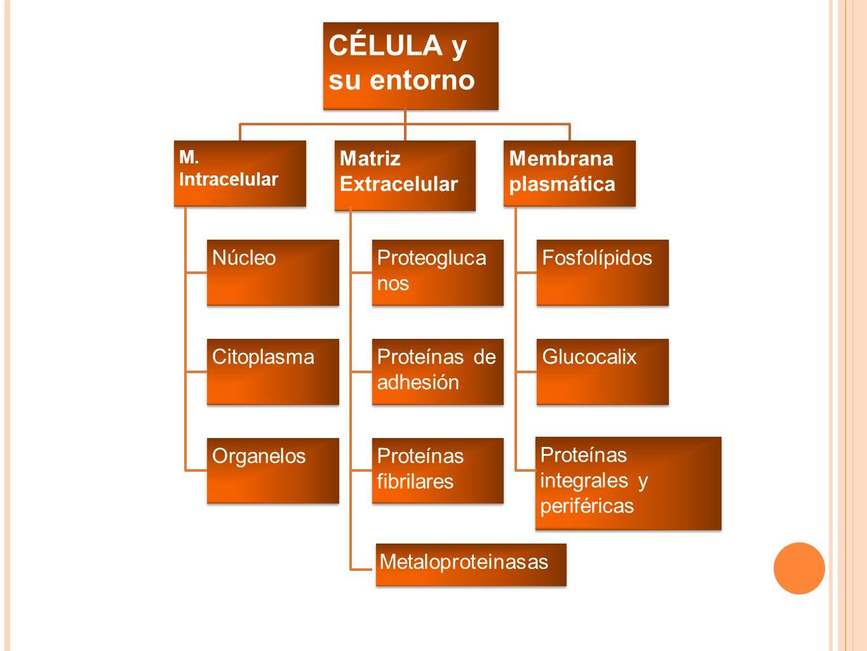 CÉLULA y su entorno Matriz Extracelular Membrana plasmática Núcleo