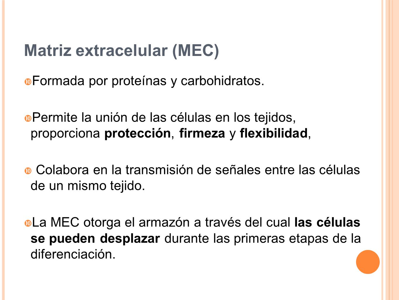 Matriz extracelular (MEC)