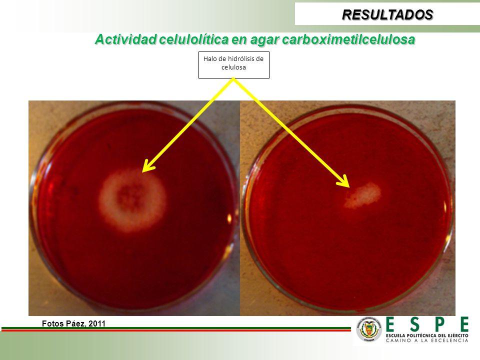 Actividad celulolítica en agar carboximetilcelulosa