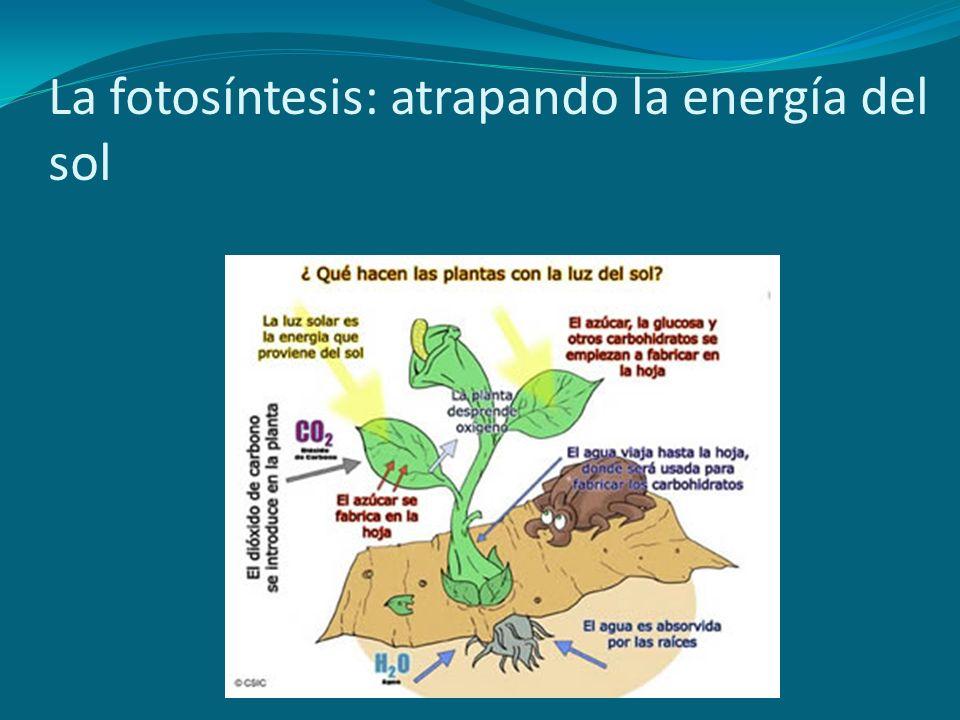 La fotosíntesis: atrapando la energía del sol