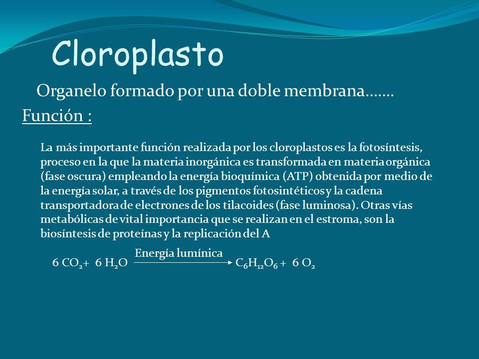 Cloroplasto Organelo formado por una doble membrana……. Función :