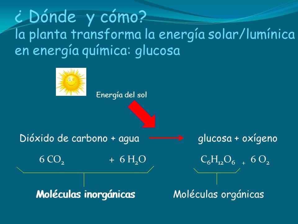 ¿ Dónde y cómo la planta transforma la energía solar/lumínica en energía química: glucosa. Energía del sol.