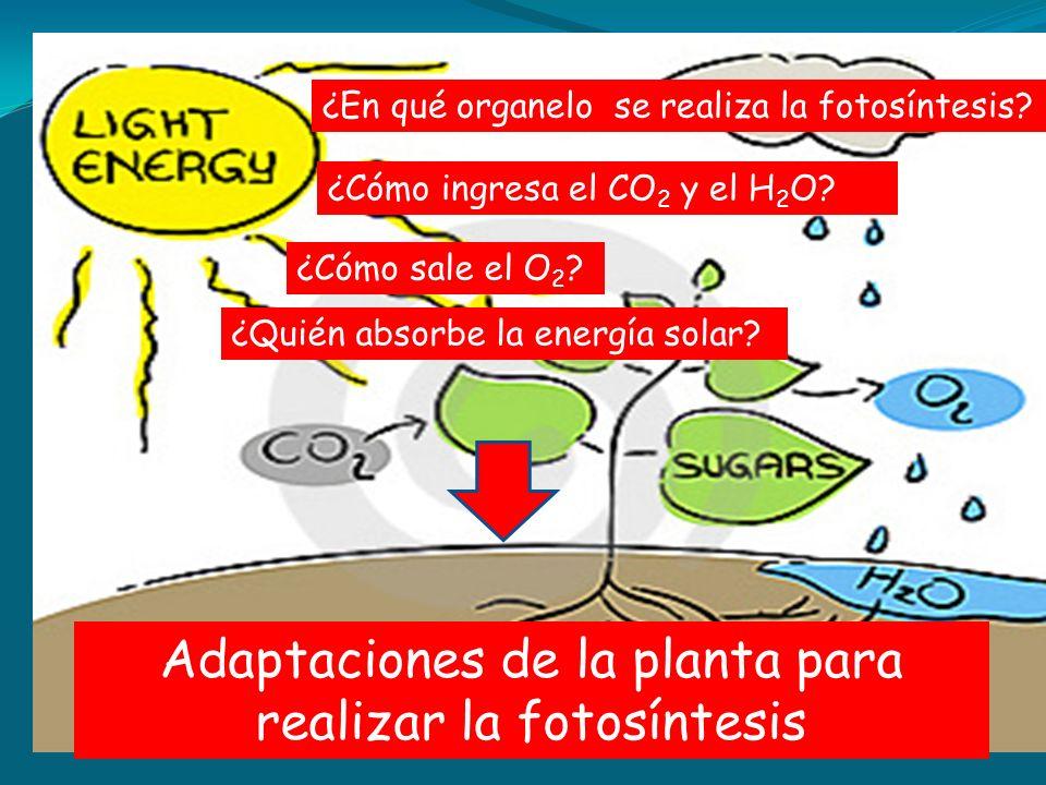 Adaptaciones de la planta para realizar la fotosíntesis