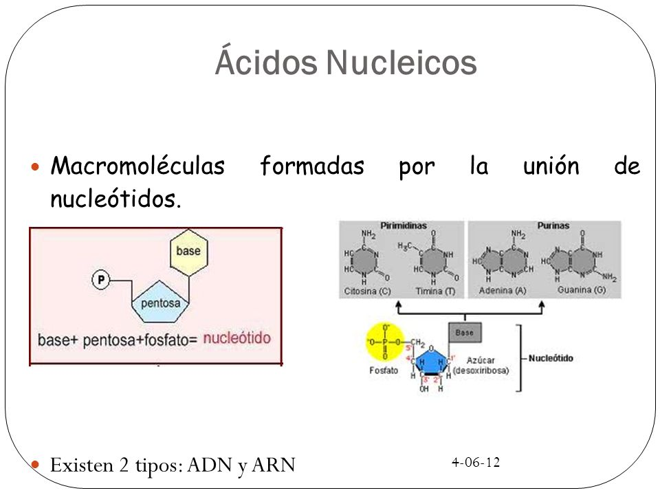 Ácidos Nucleicos Macromoléculas formadas por la unión de nucleótidos.
