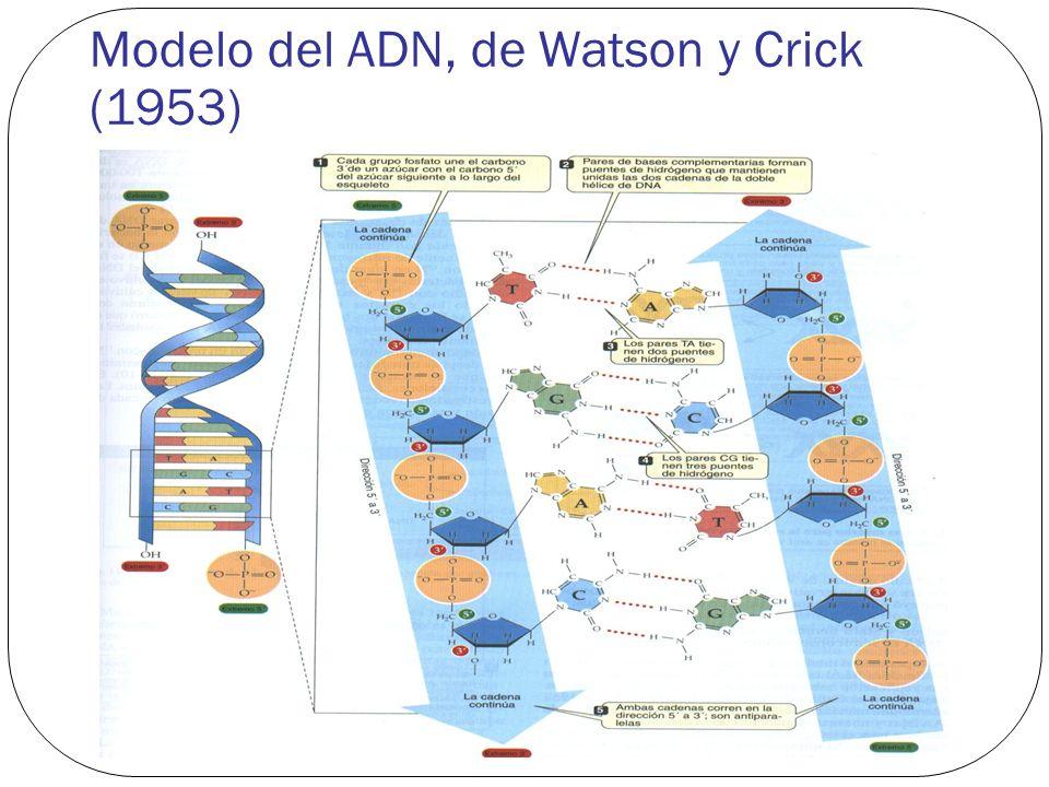 Modelo del ADN, de Watson y Crick (1953)