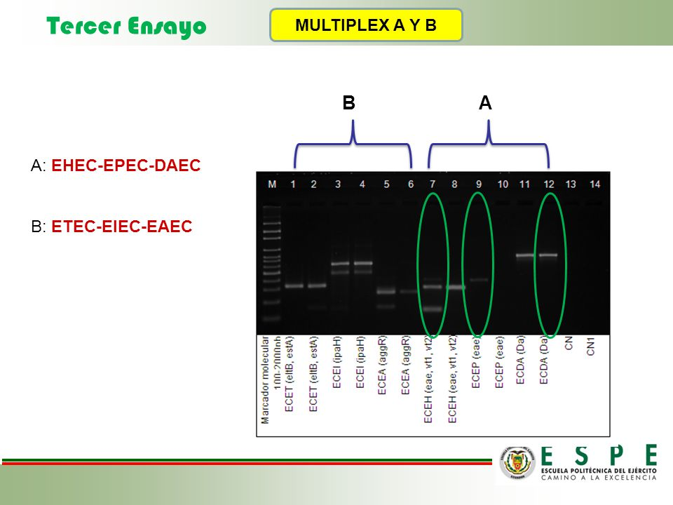 Tercer Ensayo MULTIPLEX A Y B B A A: EHEC-EPEC-DAEC B: ETEC-EIEC-EAEC