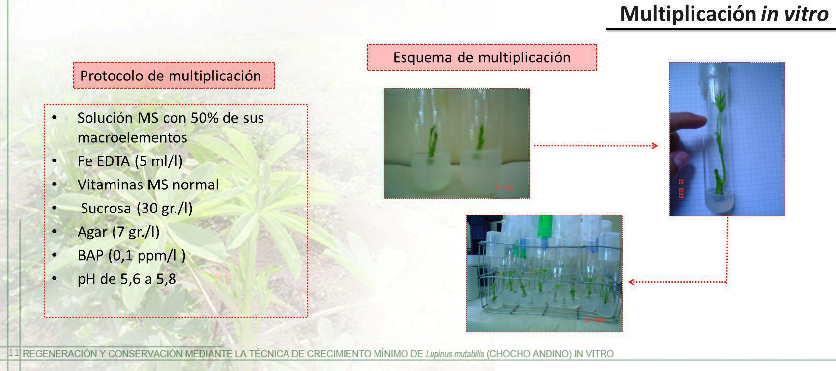 Multiplicación in vitro