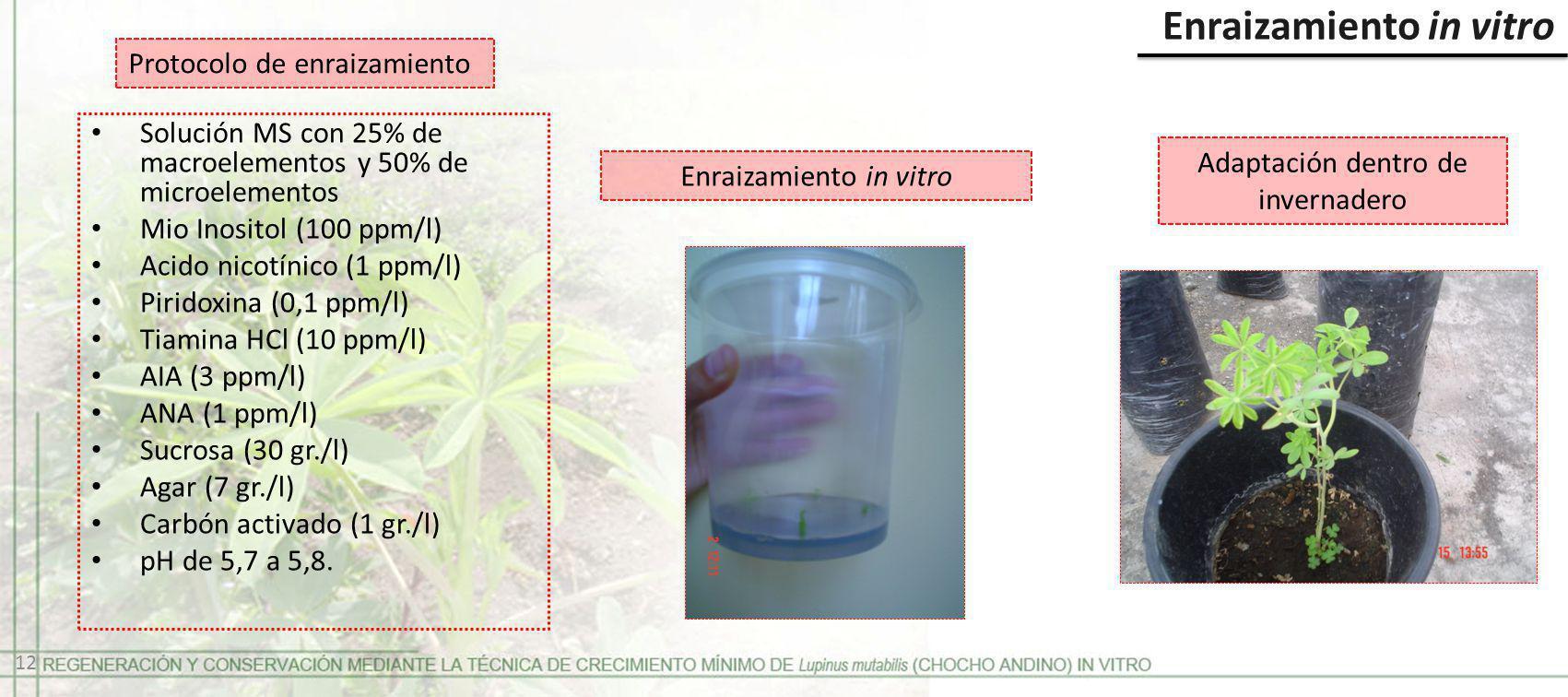 Enraizamiento in vitro