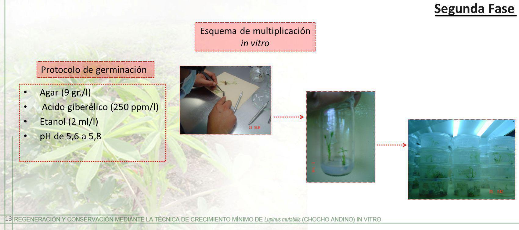 Esquema de multiplicación in vitro