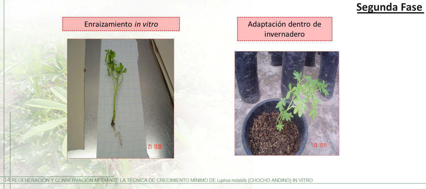 Enraizamiento in vitro Adaptación dentro de invernadero