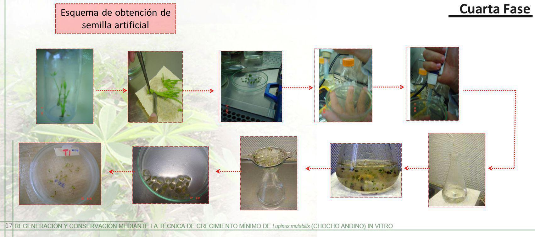 Esquema de obtención de semilla artificial