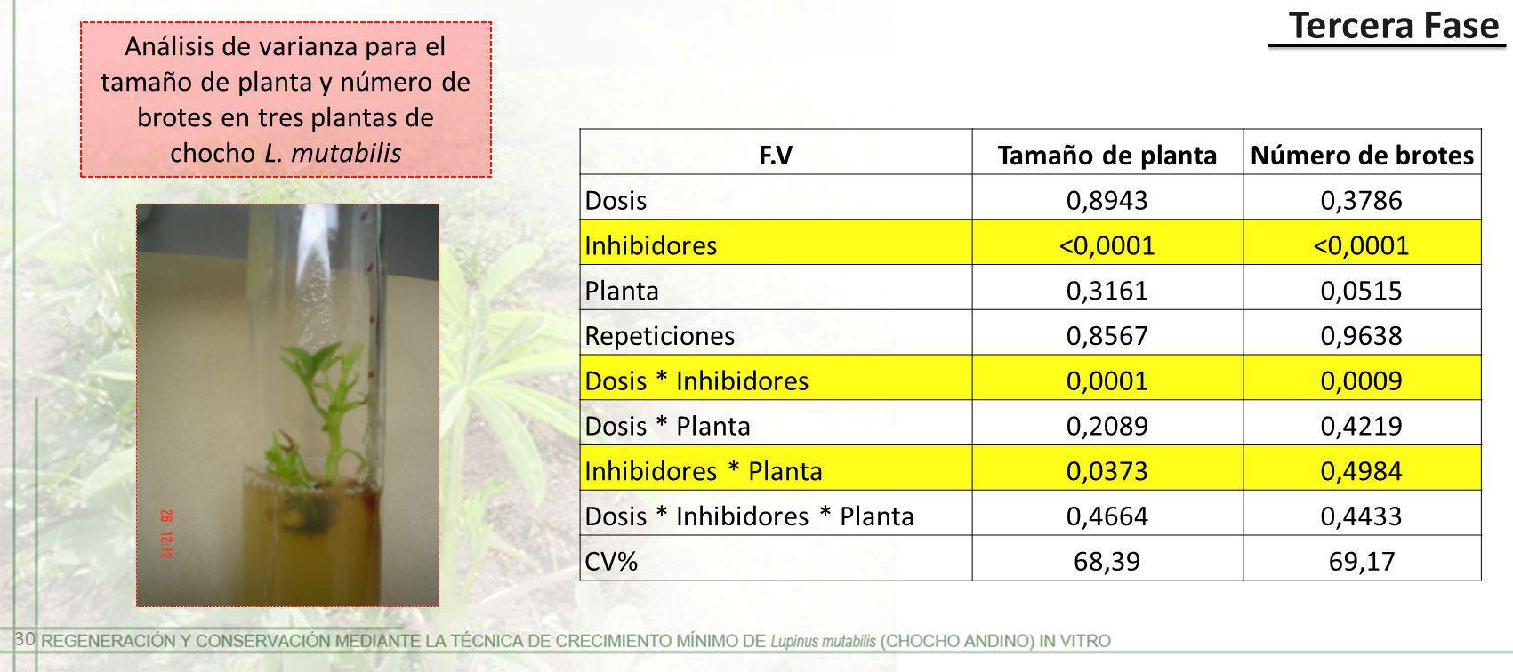 F.V Tamaño de planta Número de brotes