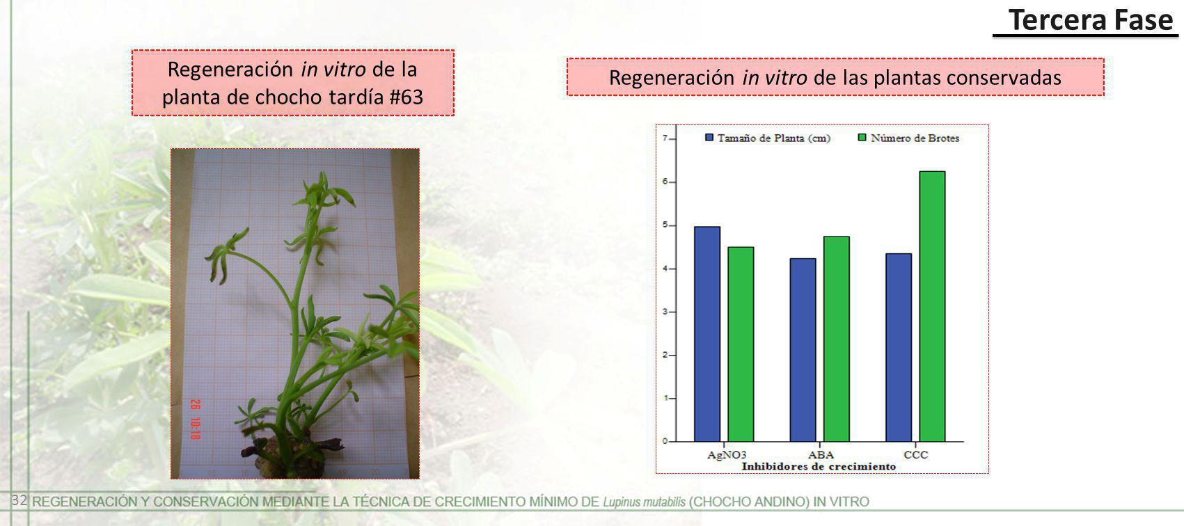 Regeneración in vitro de la planta de chocho tardía #63