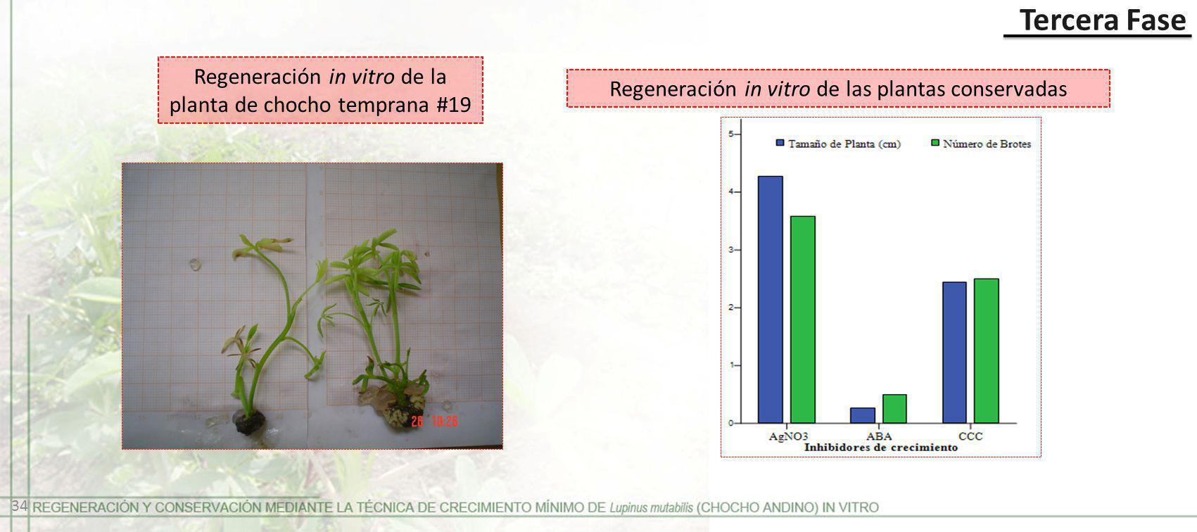Regeneración in vitro de la planta de chocho temprana #19