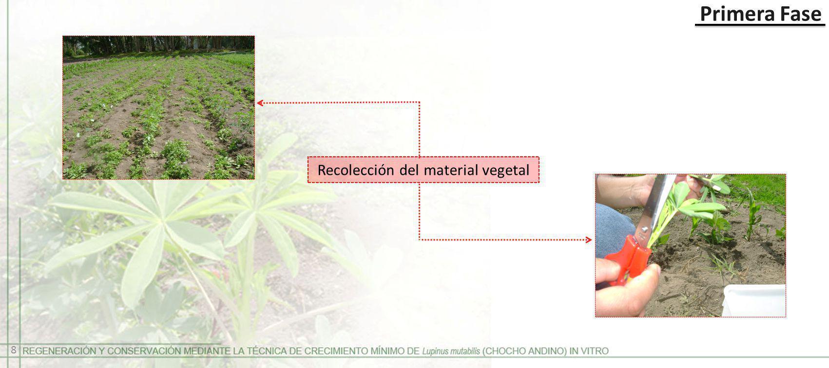 Recolección del material vegetal