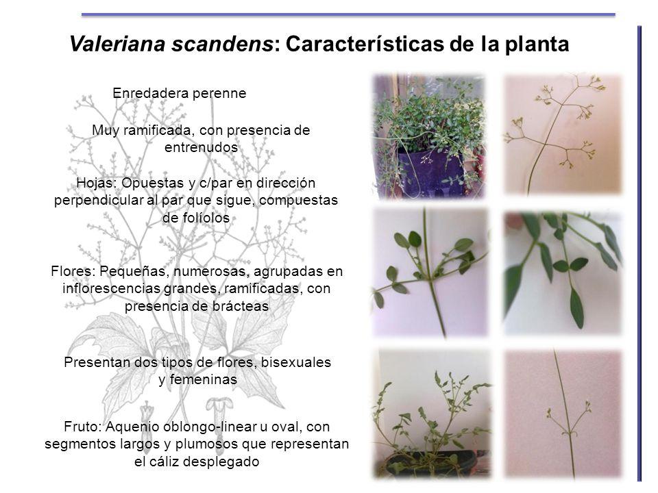 Valeriana scandens: Características de la planta