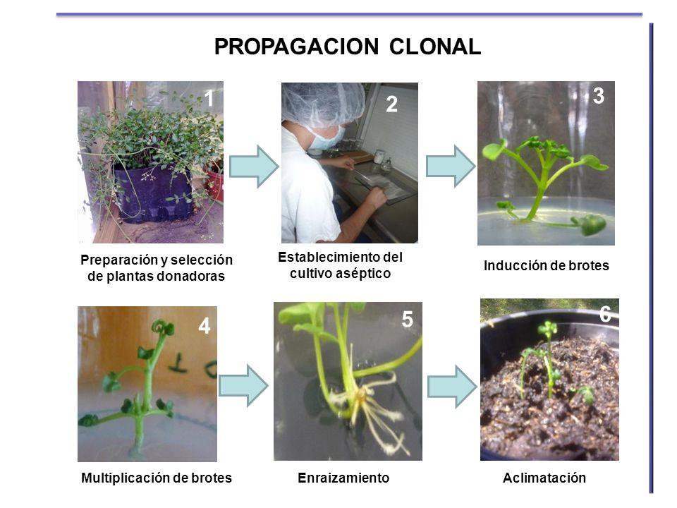 PROPAGACION CLONAL 1. 3. 2. Preparación y selección de plantas donadoras. Establecimiento del cultivo aséptico.