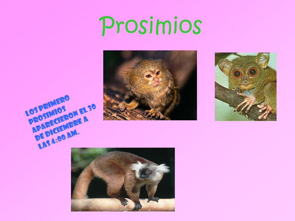 Prosimios Los primero prosimios aparecieron el 30 de diciembre a las 4:00 am.