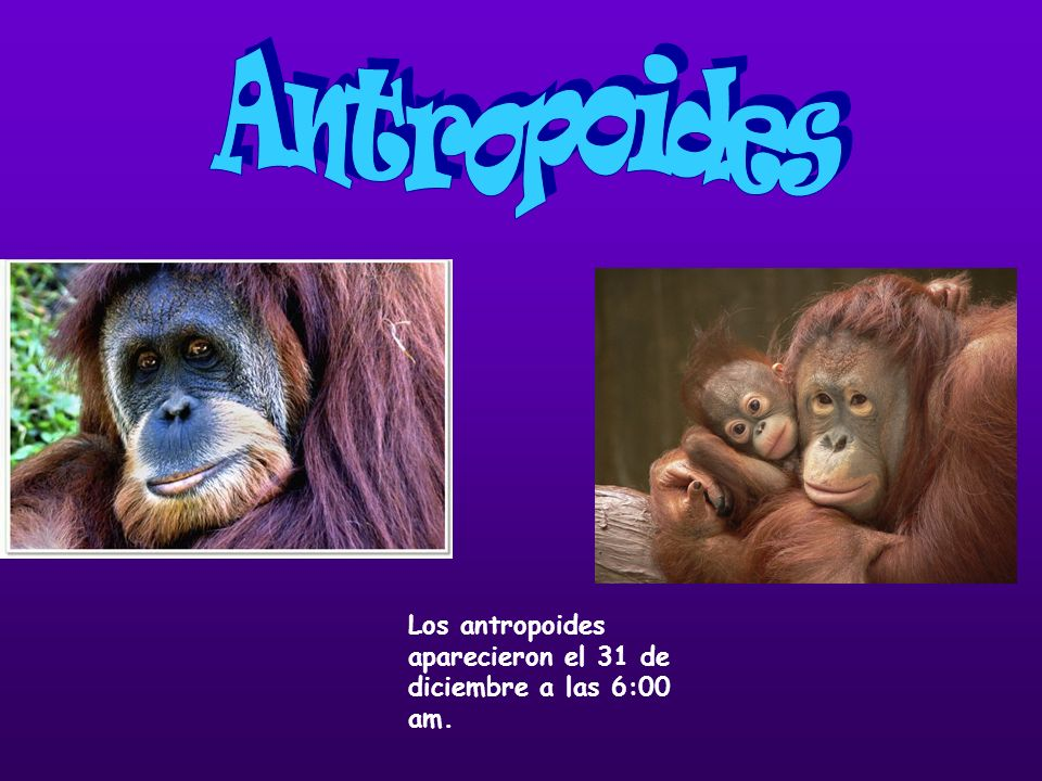 Antropoides Los antropoides aparecieron el 31 de diciembre a las 6:00 am.