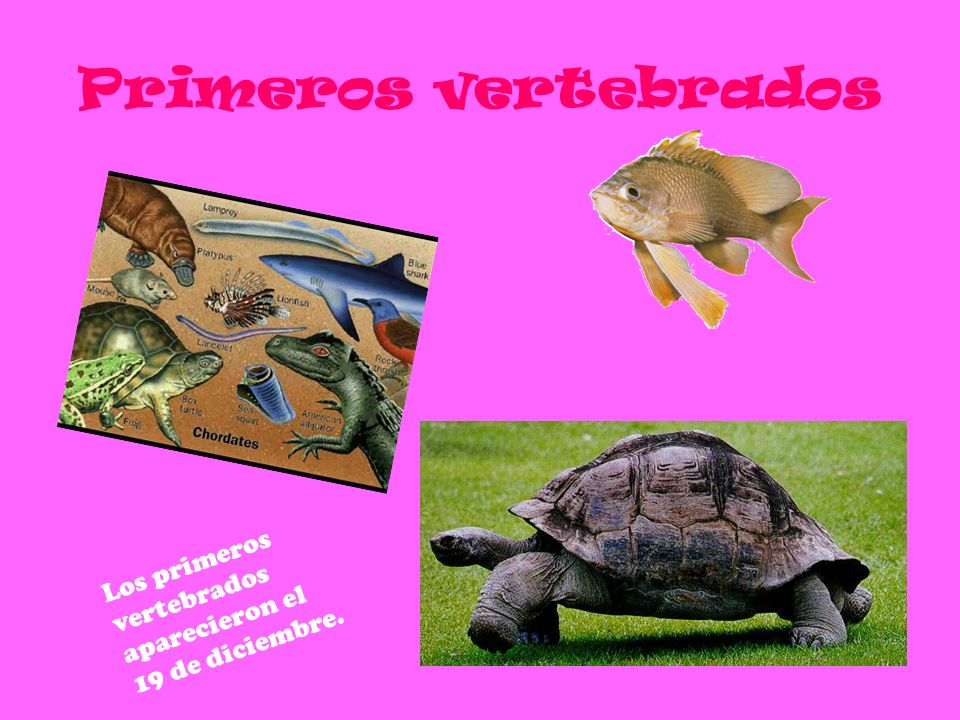 Primeros vertebrados Los primeros vertebrados aparecieron el 19 de diciembre.