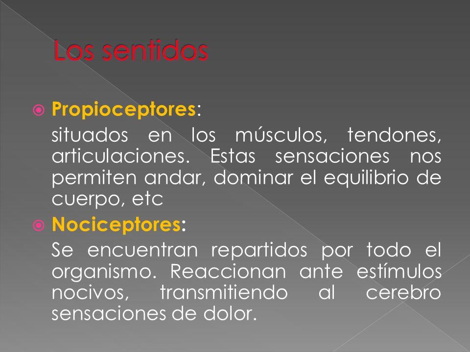 Los sentidos Propioceptores: