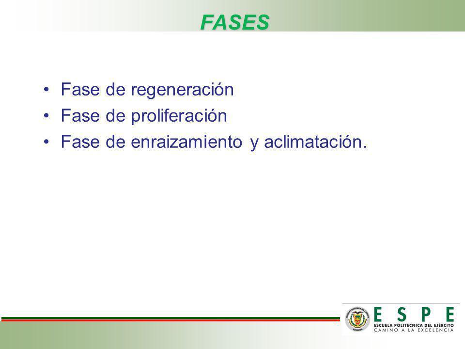 FASES Fase de regeneración Fase de proliferación