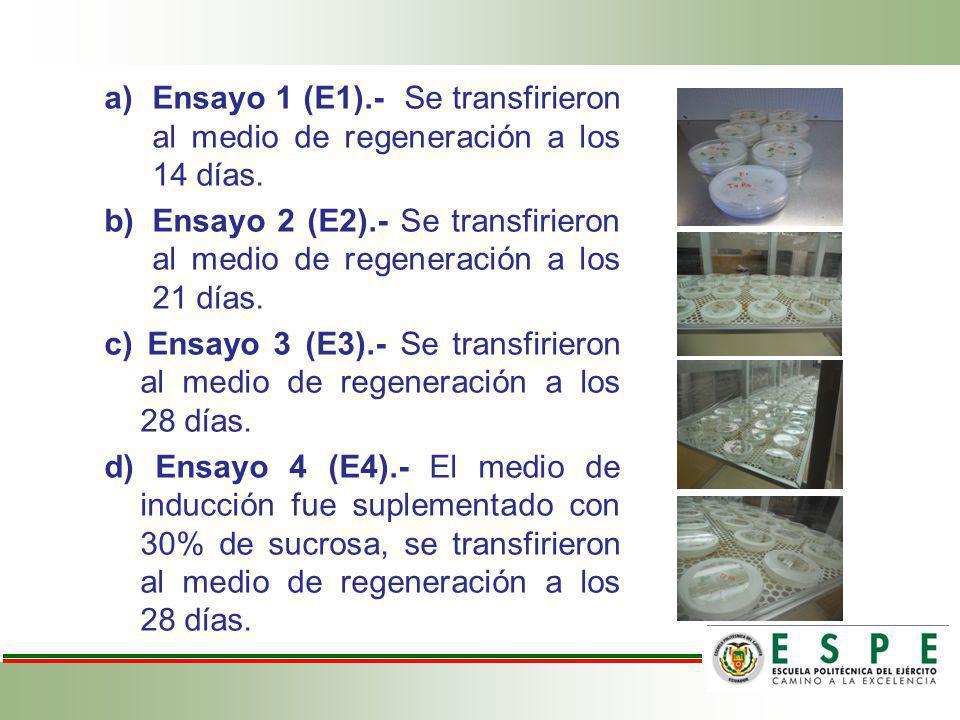 Ensayo 1 (E1).- Se transfirieron al medio de regeneración a los 14 días.