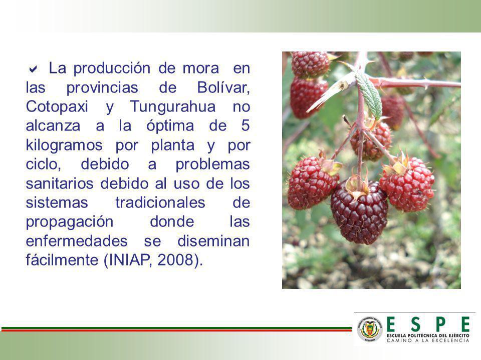  La producción de mora en las provincias de Bolívar, Cotopaxi y Tungurahua no alcanza a la óptima de 5 kilogramos por planta y por ciclo, debido a problemas sanitarios debido al uso de los sistemas tradicionales de propagación donde las enfermedades se diseminan fácilmente (INIAP, 2008).