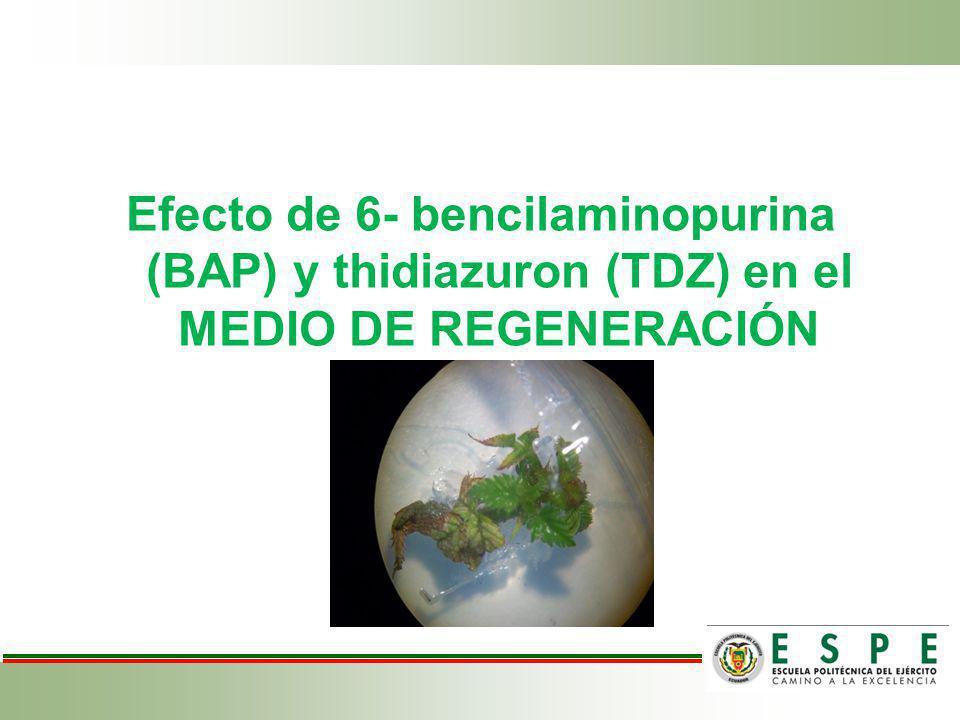 Efecto de 6- bencilaminopurina (BAP) y thidiazuron (TDZ) en el MEDIO DE REGENERACIÓN