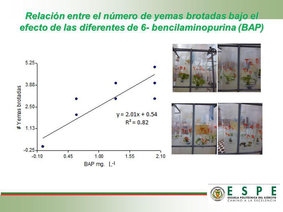 Relación entre el número de yemas brotadas bajo el efecto de las diferentes de 6- bencilaminopurina (BAP)