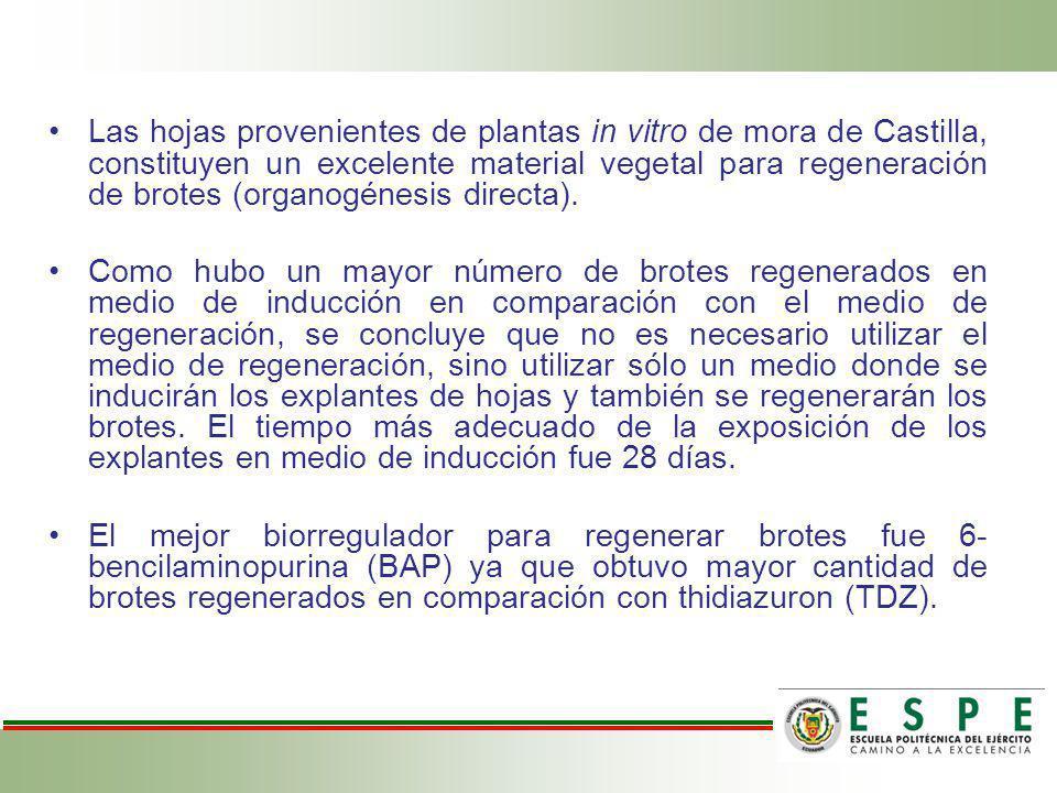 Las hojas provenientes de plantas in vitro de mora de Castilla, constituyen un excelente material vegetal para regeneración de brotes (organogénesis directa).