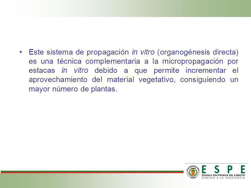 Este sistema de propagación in vitro (organogénesis directa) es una técnica complementaria a la micropropagación por estacas in vitro debido a que permite incrementar el aprovechamiento del material vegetativo, consiguiendo un mayor número de plantas.