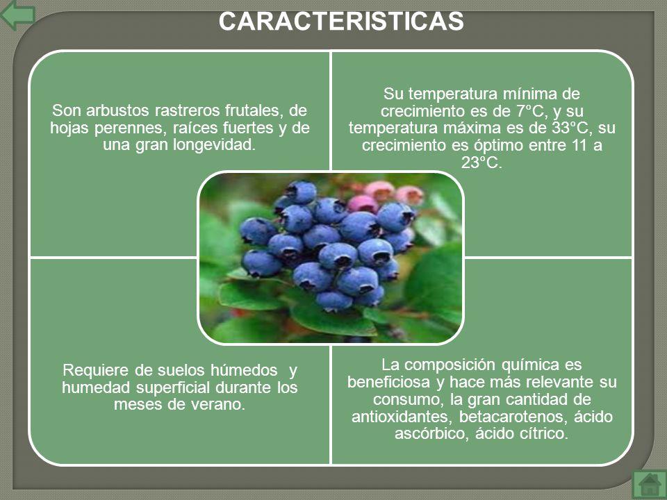 CARACTERISTICAS Son arbustos rastreros frutales, de hojas perennes, raíces fuertes y de una gran longevidad.