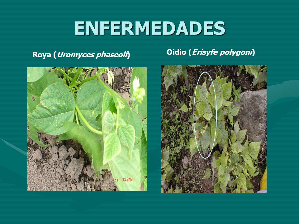 ENFERMEDADES Oidio (Erisyfe polygoni) Roya (Uromyces phaseoli)