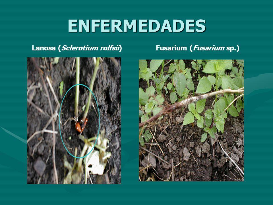 ENFERMEDADES Lanosa (Sclerotium rolfsii) Fusarium (Fusarium sp.)