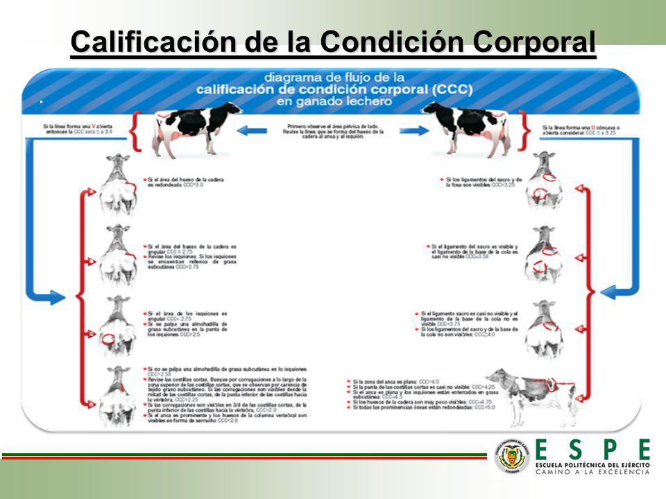 Calificación de la Condición Corporal