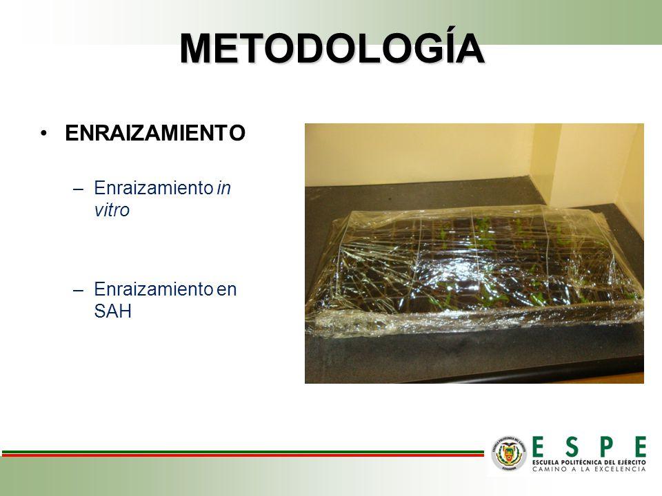 METODOLOGÍA ENRAIZAMIENTO Enraizamiento in vitro Enraizamiento en SAH