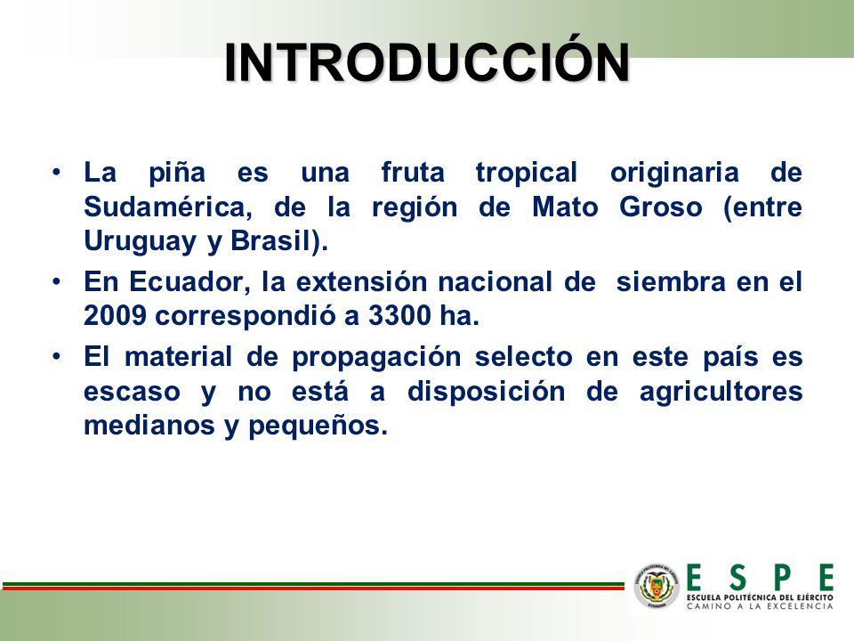 INTRODUCCIÓN La piña es una fruta tropical originaria de Sudamérica, de la región de Mato Groso (entre Uruguay y Brasil).