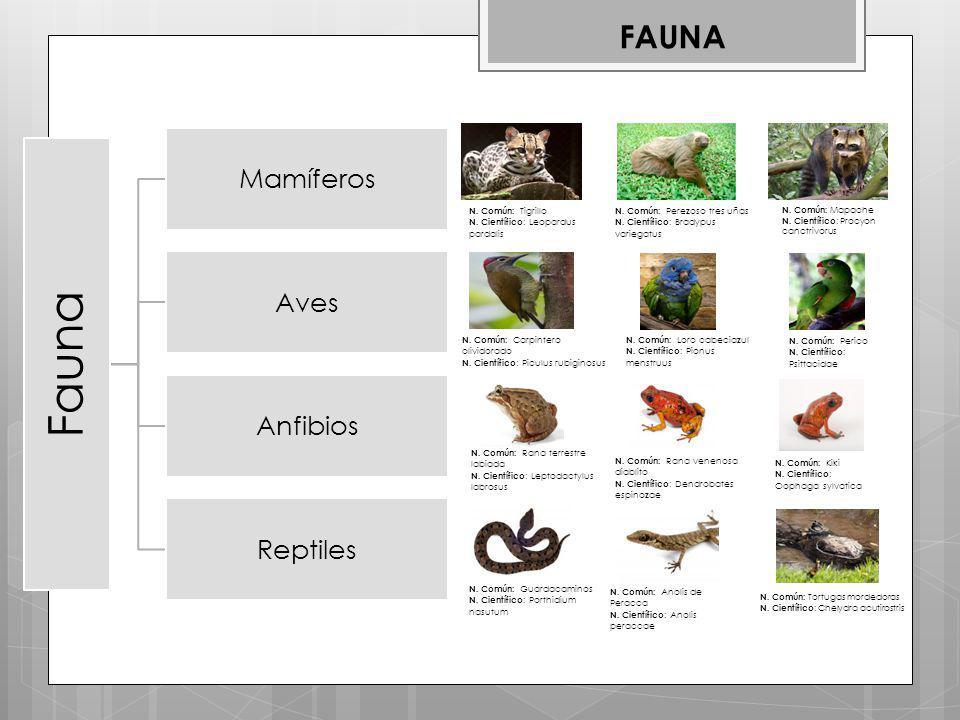 Fauna FAUNA Mamíferos Aves Anfibios Reptiles N. Común: Tigrillo