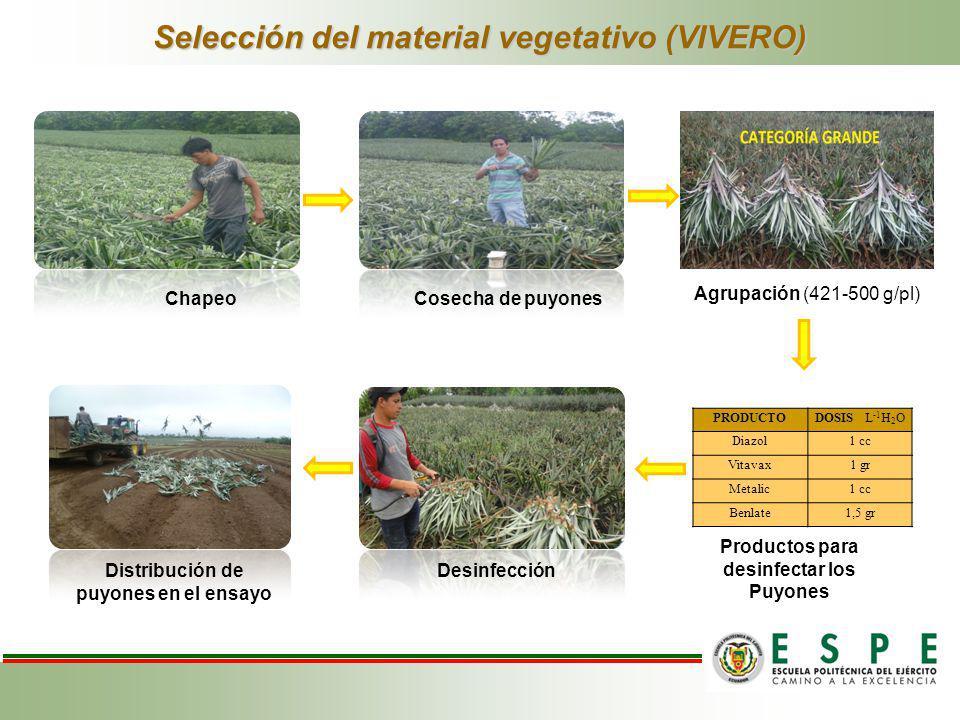 Selección del material vegetativo (VIVERO)