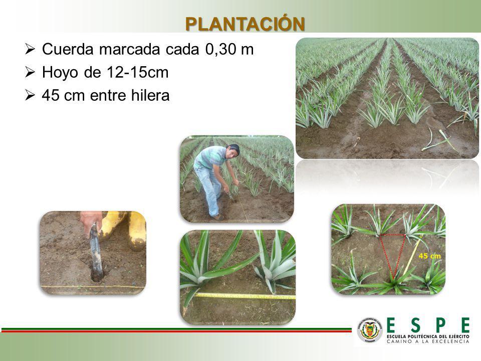 PLANTACIÓN Cuerda marcada cada 0,30 m Hoyo de 12-15cm