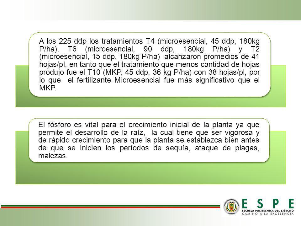 A los 225 ddp los tratamientos T4 (microesencial, 45 ddp, 180kg P/ha), T6 (microesencial, 90 ddp, 180kg P/ha) y T2 (microesencial, 15 ddp, 180kg P/ha) alcanzaron promedios de 41 hojas/pl, en tanto que el tratamiento que menos cantidad de hojas produjo fue el T10 (MKP, 45 ddp, 36 kg P/ha) con 38 hojas/pl, por lo que el fertilizante Microesencial fue más significativo que el MKP.