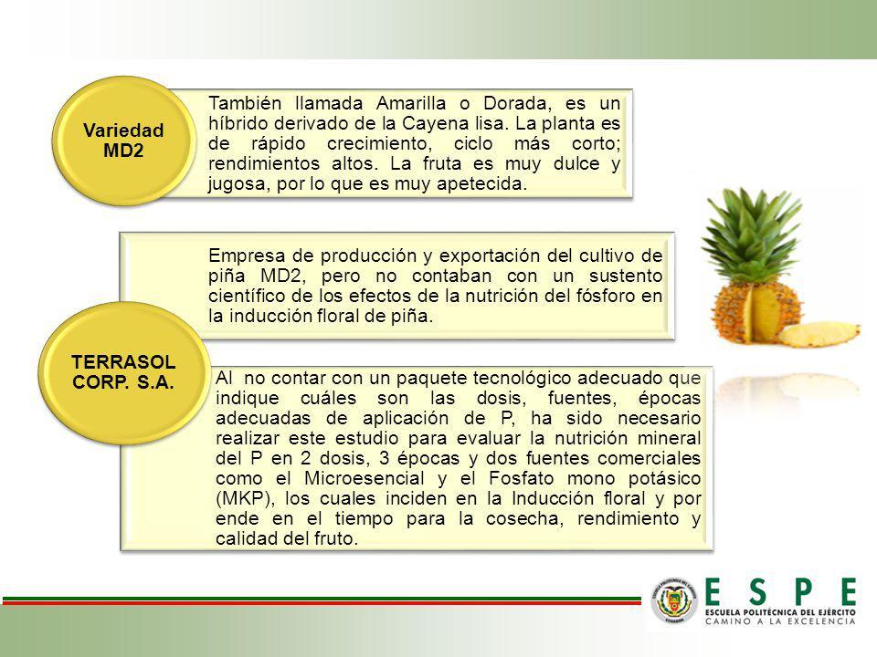 También llamada Amarilla o Dorada, es un híbrido derivado de la Cayena lisa. La planta es de rápido crecimiento, ciclo más corto; rendimientos altos. La fruta es muy dulce y jugosa, por lo que es muy apetecida.