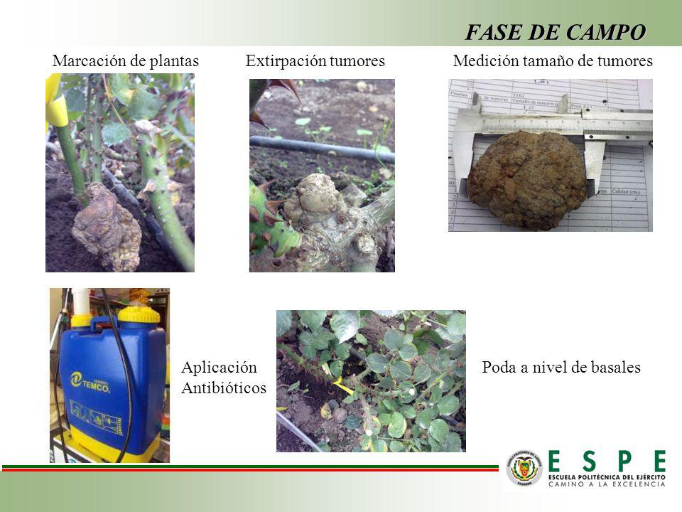 FASE DE CAMPO Marcación de plantas Extirpación tumores