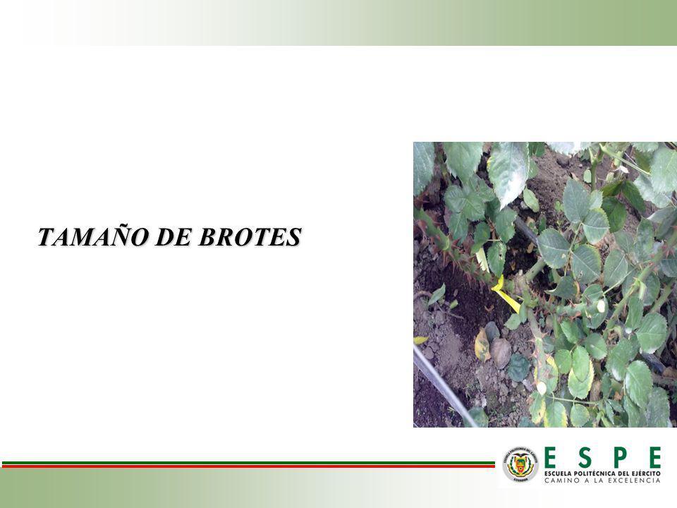 TAMAÑO DE BROTES